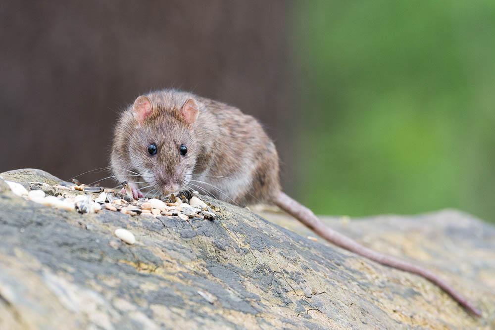 Rotter er umulige at undgå - vi gør en indsats for at minimere problemerne